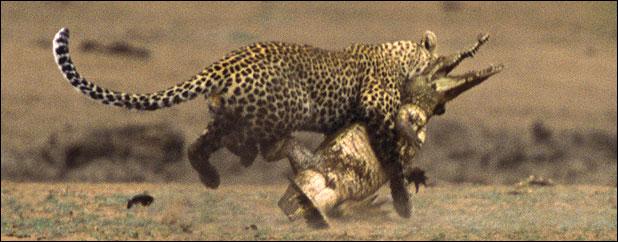 Leopardo pillando a un cocodrilo