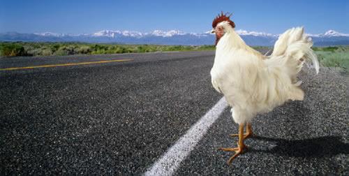 ¿Porqué el pollo cruzó la carretera?